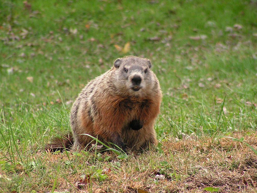 is the groundhog a good weather forecaster nature on the edge