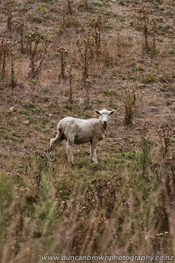 Suspicious sheep on State Highway 5 photograph