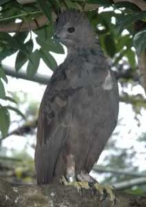 Foto Burung Elang Brontok Fase Gelap