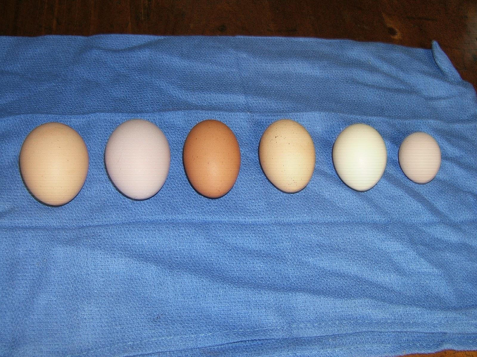 Do Your Chickens Eggs Make The Grade Community Chickens