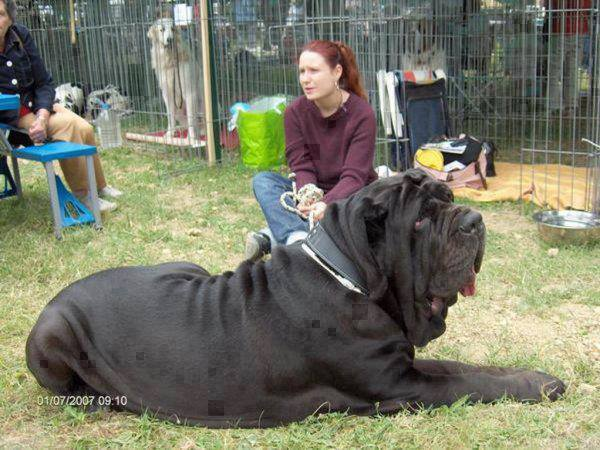 The bigest dog in the world