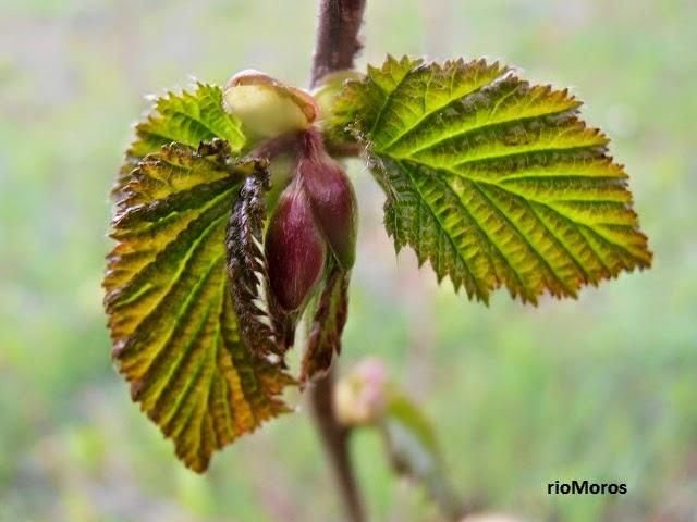 AVELLANO: Corylus avellana