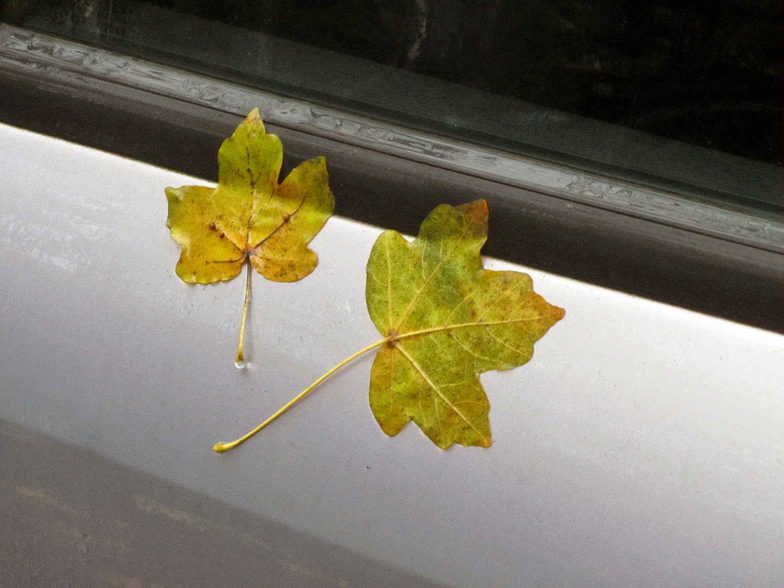 two leaves stuck on a silver car