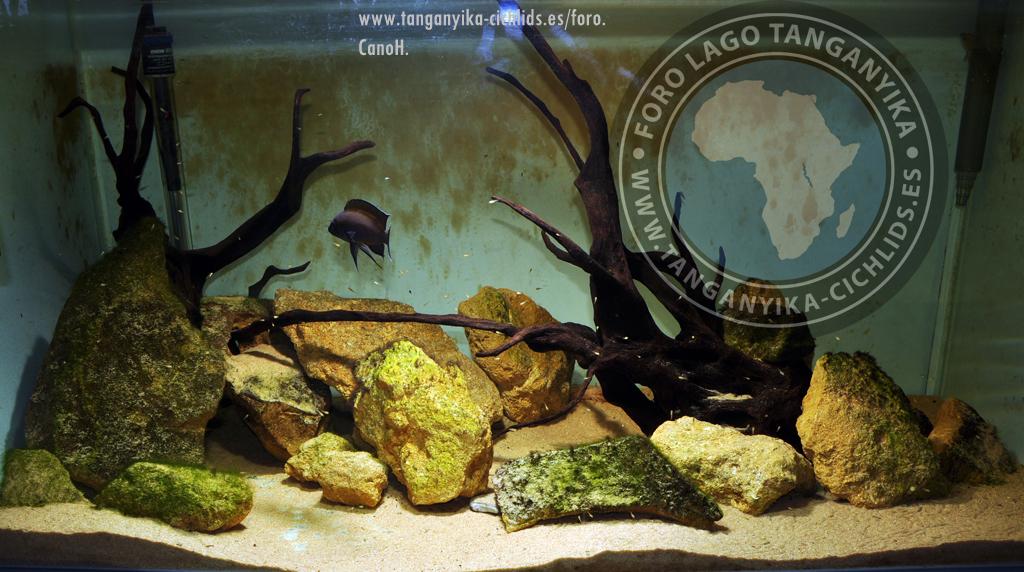 Variabilichromis Moorii : Variabilichromis moorii con sus crias.