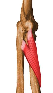 Braço humano anatomia