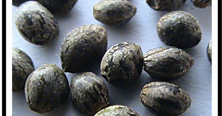 Pousser du cannabis o trouver de graines de cannabis - Ou acheter des bensimon ...