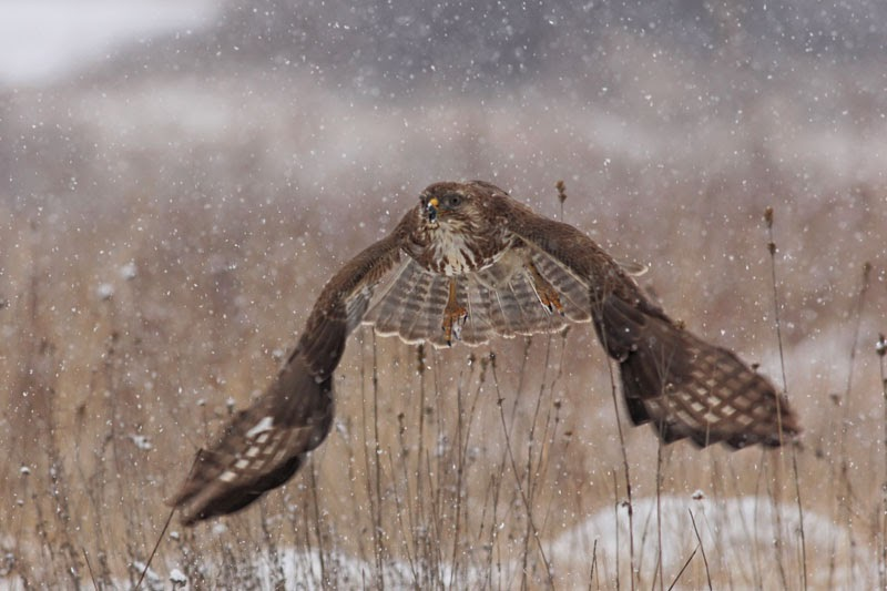 Common Buzzard photography by Iordan Hristov