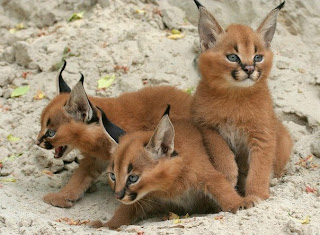 baby lynxes, funny animal pictures, animal pics