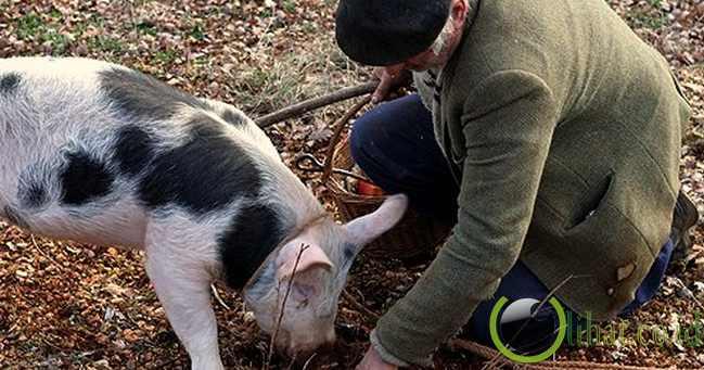 Babi Pemburu Truffle (Truffle-hunting Pig)