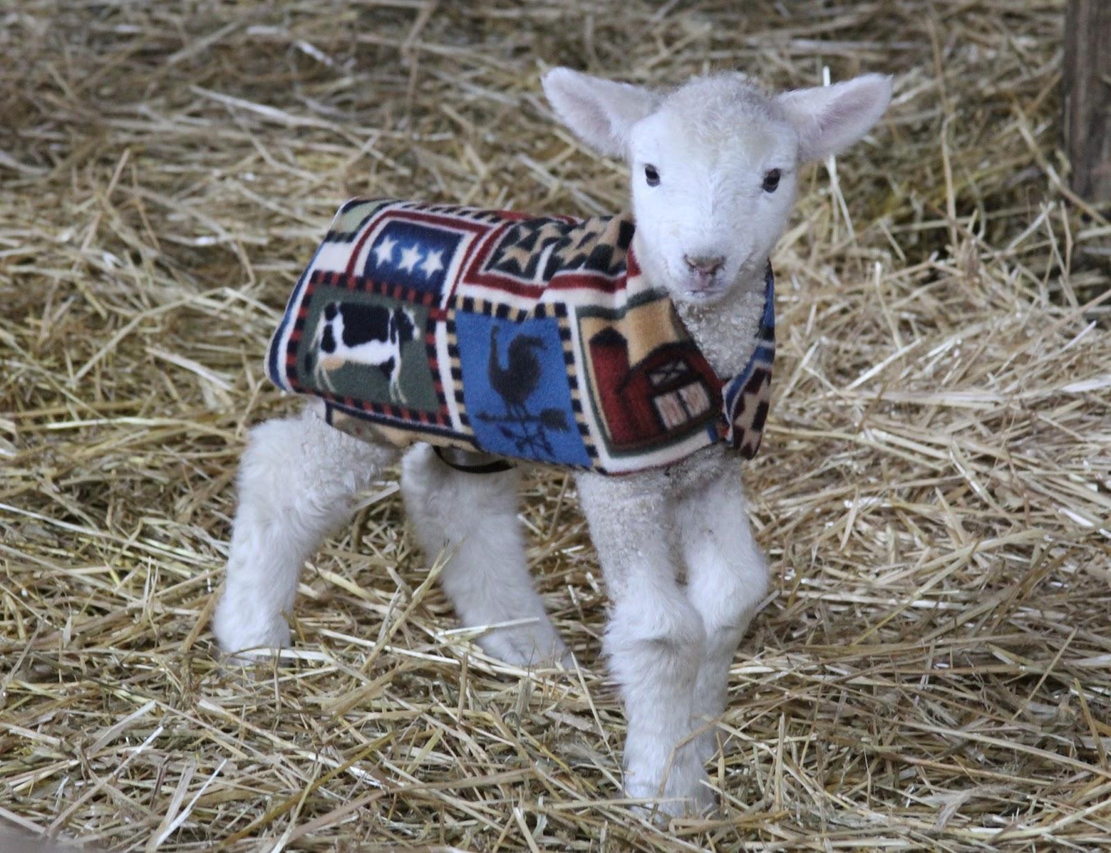 losing sleep counting sheep: lamb jacket pattern