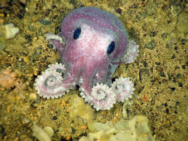 funny animal pictures, baby octopus