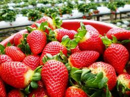 Strawberry Farm in Cameron Highlands - www.coachnvanrental.com.my