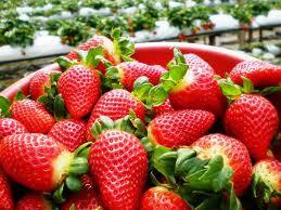 Strawberry Farm in Cameron Highlands - www.coachnvanrental.com.my