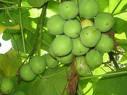 jatropha= biocombustibles