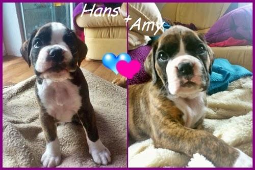 Geschwister Hans und Amy - Boxerwelpen