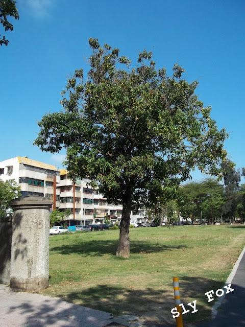 台南美國學校芒果樹