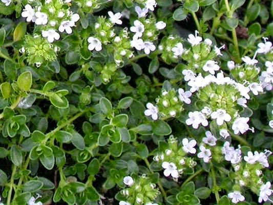 cỏ xạ hương trị viêm phế quản mãn hiệu quả
