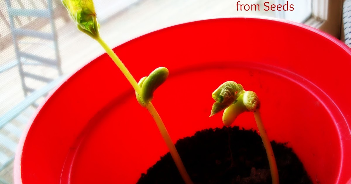 how to grow lima beans indoors