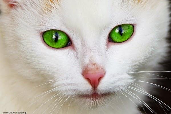 Photo chat blanc mimi au yeux vert