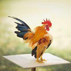 Cerita Fabel Binatang: Ayam, Bebek, Angsa