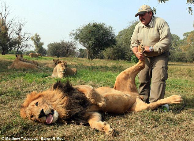 Extreme! Inilah Tukang Pijit Singa
