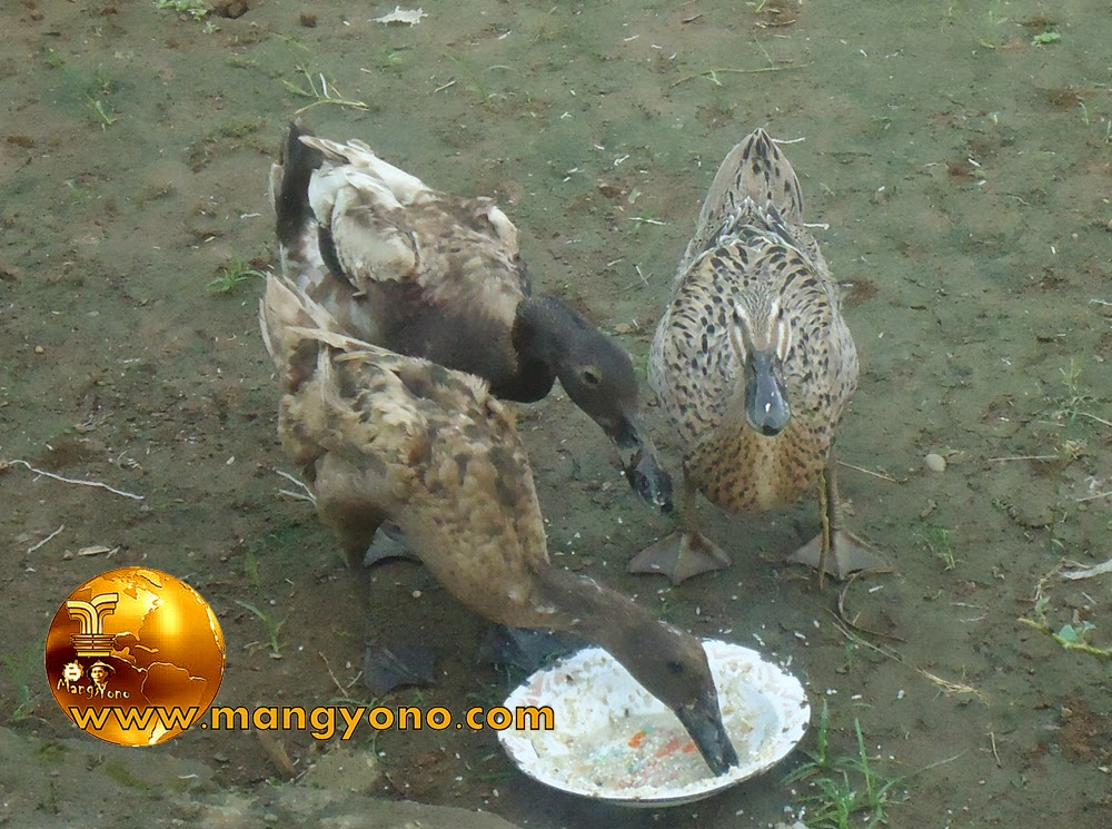 FOTO : Bebek sedang makan 3 in 1 ...  hehehe.