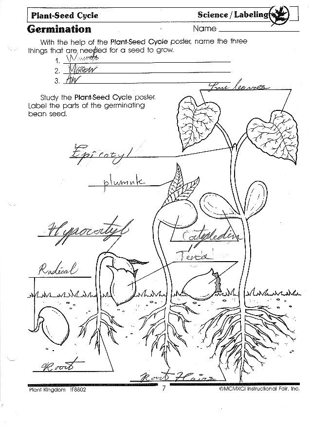 free seed germination worksheet middle school science