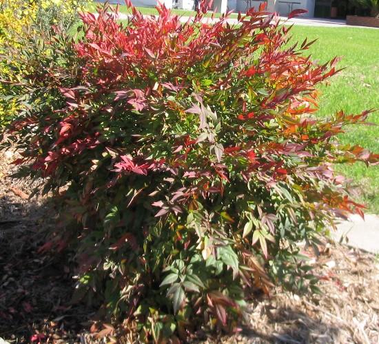P R Landscaping, Inc.: Landscape Plants L-Z Nandina Domestica Compacta
