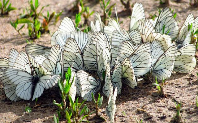 Bureaublad achtergrond met een groep witte vlinders op de grond in de lente
