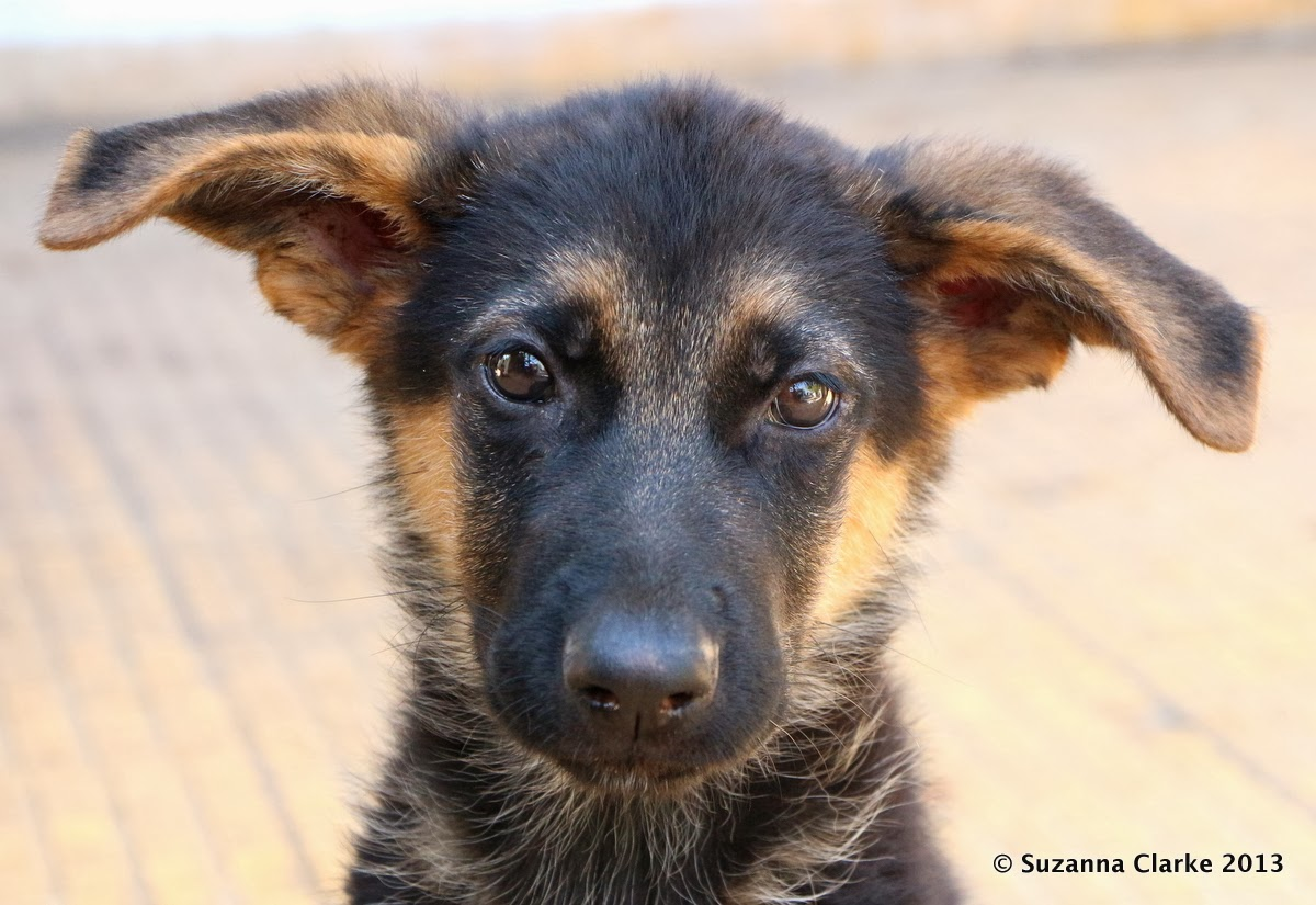 Cute German Shepherd Girl Dog Names
