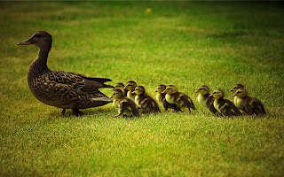 Duck Family Cute Little Ducks Behind Mother HD Wallpaper