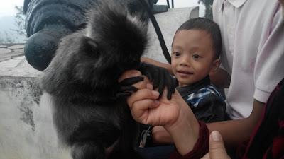 Lutong / Silverleaf Monkey