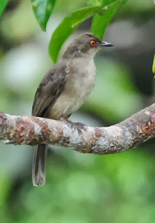Asian Red-eyed Bulbul (Pycnonotus brunneus)