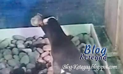 penguin makan anak sendiri