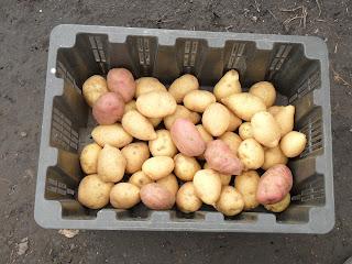 vkusniogorod, семенной картофель прозеленяется