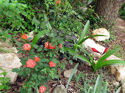 Annieinaustin,coral mini-rose & amaryllis