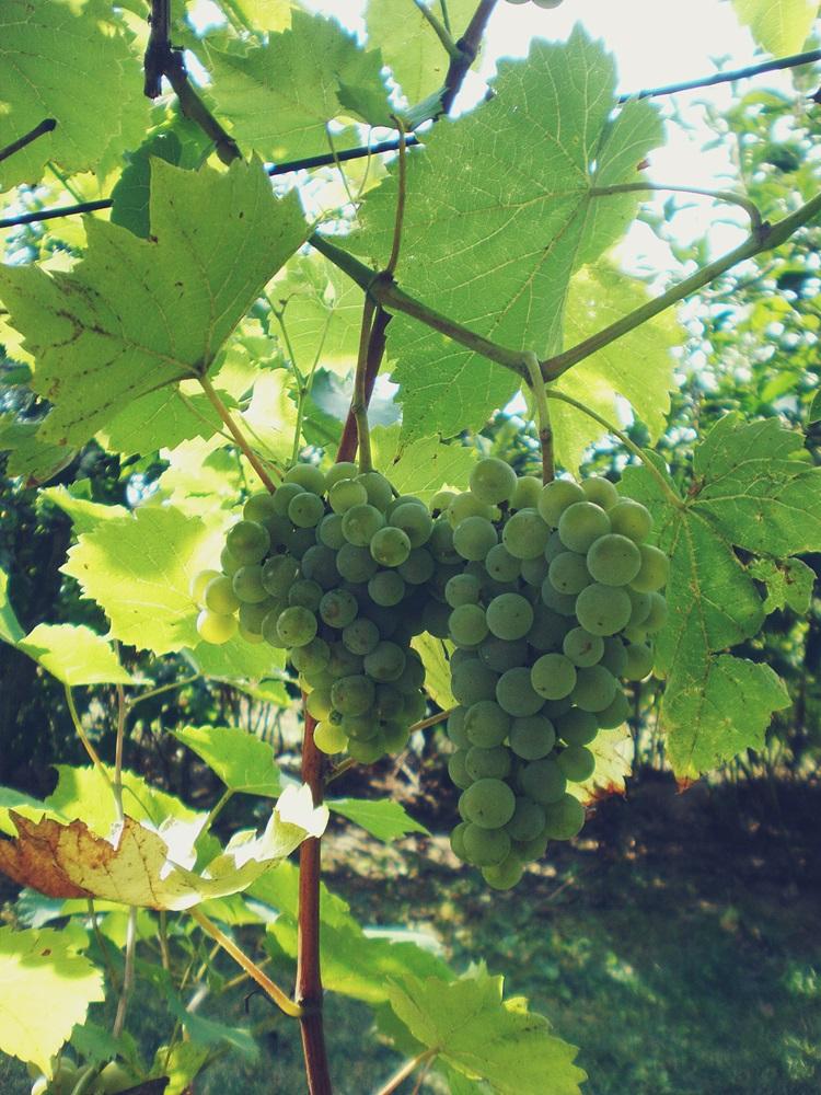 winorośl, białe winogrono