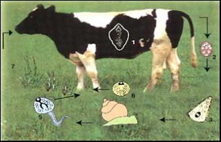 Chu kỳ vòng đời của sán lá gan trâu, bò.