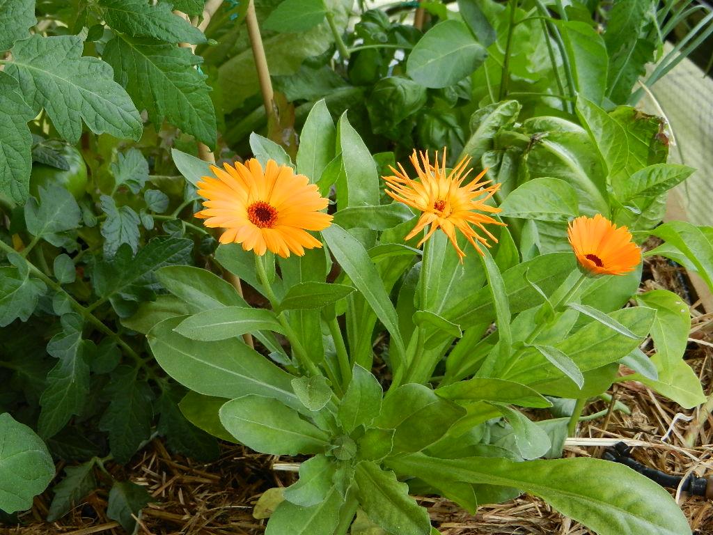 Plantas que curan plantas el balcon verde for Que plantas se siembran en un huerto