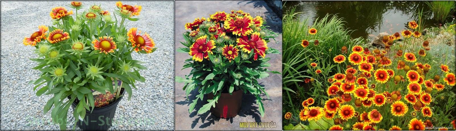 Gaillardia – cvijeće koje cvjeta cijelo ljeto - Moj Vrt Cvijeća