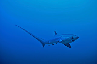 Dive with thresher sharks at monad shoal with Exotic island dive resort