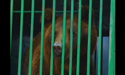 Urso Pardo domesticado para Circos