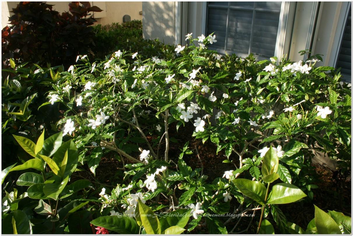 Southeast Florida Garden Evolvement May Flowers