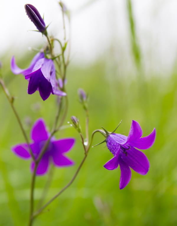 PauMau blogi nelkytplusbloggari nelkytplus kissankello harakankello violetti kukka niitty kesäkukka maaseutu pelto
