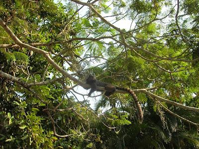 Monos , Jardín Botánico, jardim Botânico, Rio de Janeiro, Brasil, La vuelta al mundo de Asun y Ricardo, round the world, mundoporlibre.com