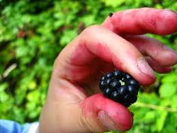blackberrying plath
