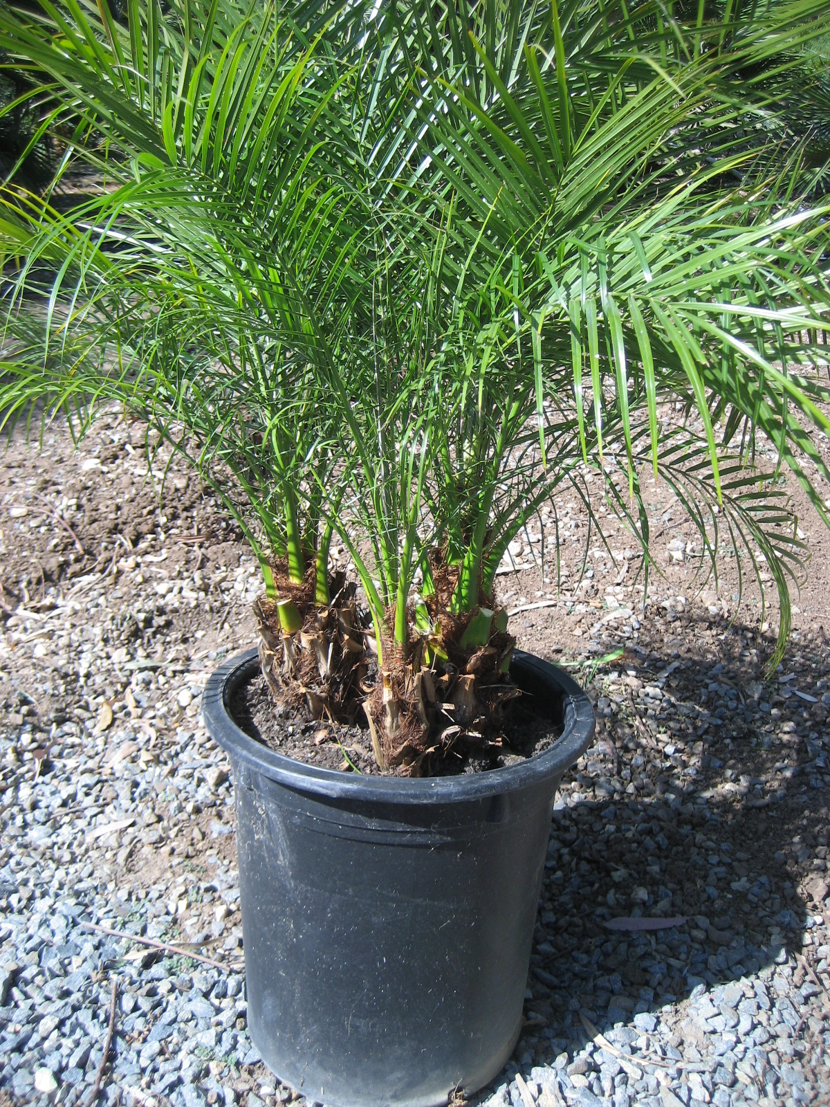 pygmy date palm single Find great deals on ebay for dwarf date palm and christmas palm tree adonidia seedling tropical dwarf royal palm triple single $34 pygmy date palm seeds from.