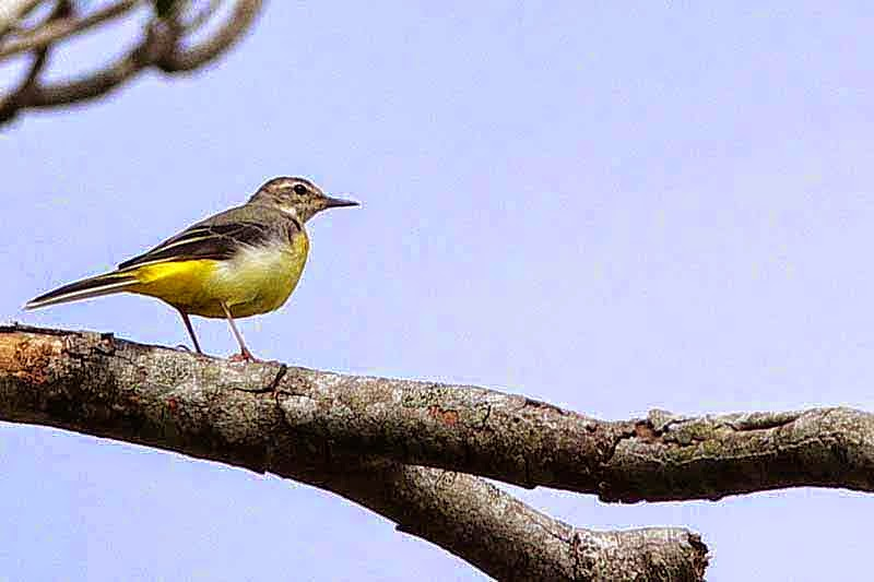 bird, Yellow Wagtail