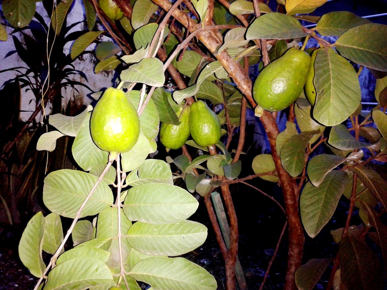 tebak pohon jambu biji