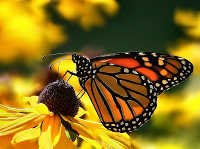 monarch butterfly on a black-eyed-susan